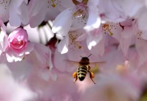 abeille-butinant-cerisier