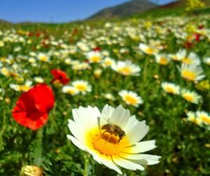 abeille_sur_champs_de_fleurs_1