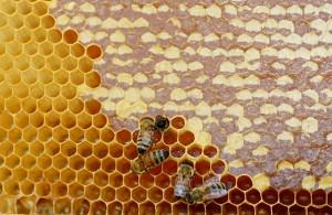 miel-operculé